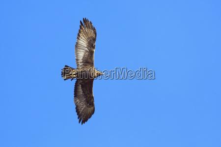 golden eagle aquila chrysaetos flying in