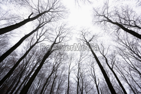 looking up at beech forest in