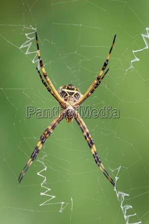 peru manu nationalpark kugelweberspinne im spinnennetz