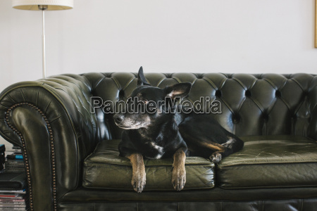 portrait of dog lying on leather