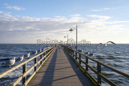 deutschland usedom bansin moewen am pier