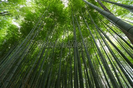 green bamboo tree canopy