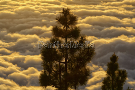 pine trees with cloudscape in the