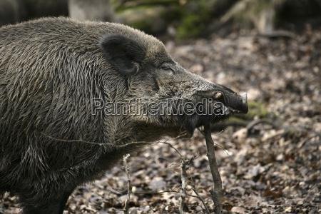 eurasische wildschwein sus scrofa adult stehend