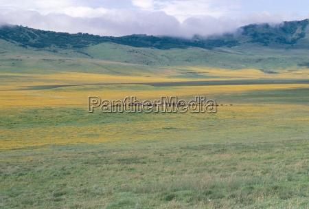 masai cattle after rain ngorongoro crater