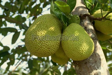 jak fruit jack fruit on a