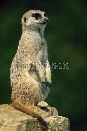 meerkat auf ausguck marwell zoo hampshire