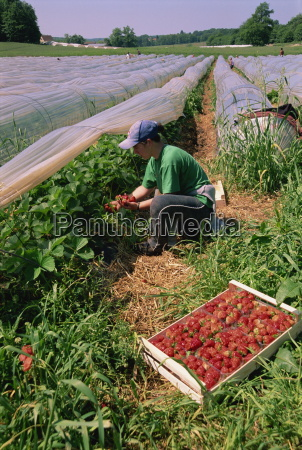 strawberry pickers dordogne aquitaine france europe