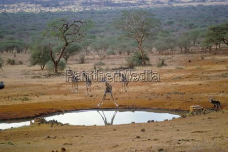 giraffe tsavo west nationalpark kenia ostafrika