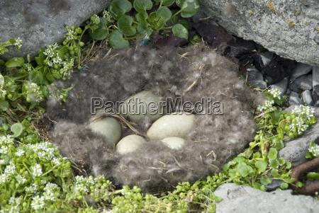 eider enteneier im nest aus eider