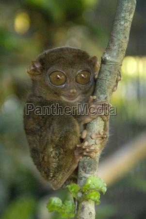 tarsier fraterculus the smallest living primate