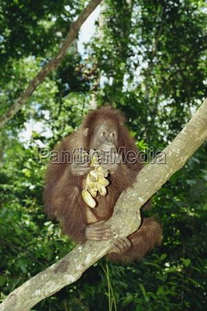 fahrt reisen asien tiere malaysia borneo