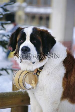 bernhardiner hund mit flaschenhalsband st moritz