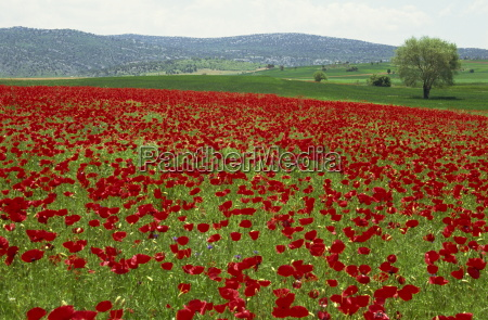 spring flowers near beysehir anatolia turkey