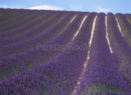 field of lavender valensole plains alpes