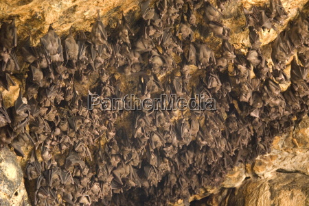 bats on roof of cave chamber