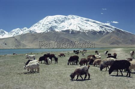 livestock grazing near karakuli lake on