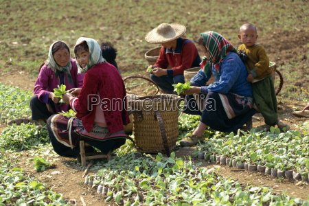 gruppe der miao frauen tabakpflanzen bei