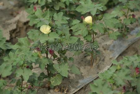 white gold cotton plants xinjiang china