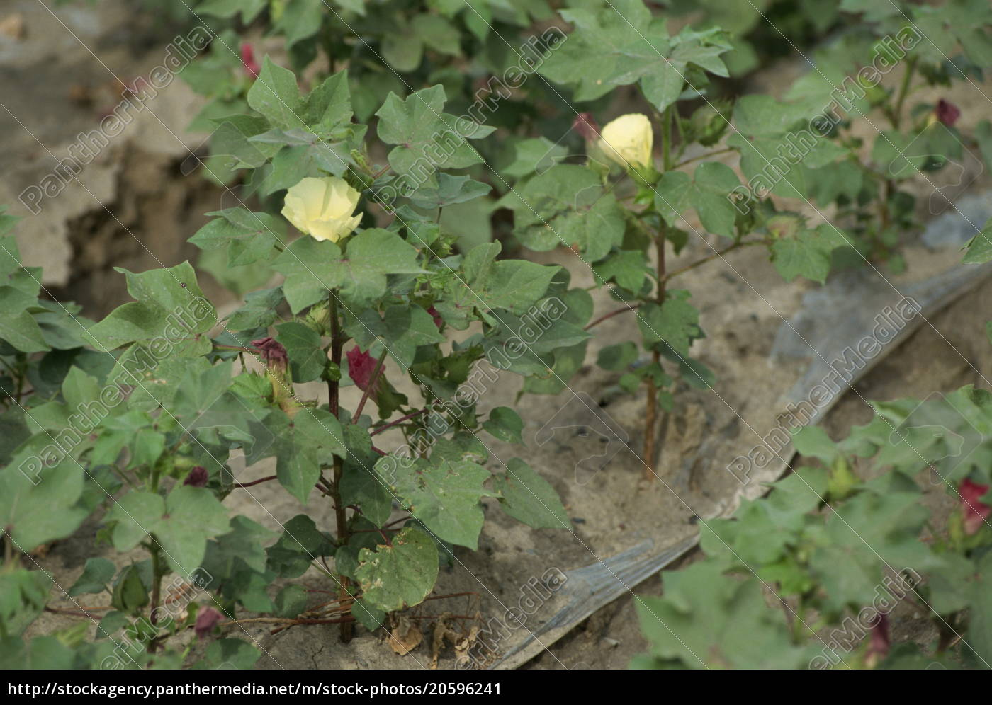 white, gold, , cotton, plants, , xinjiang, , china, - 20596241