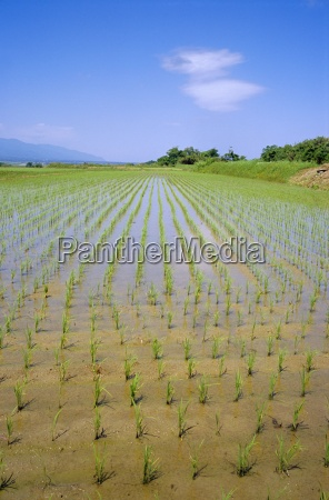 rice fields on sado island off