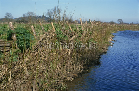 live willow stakes used to stabilise