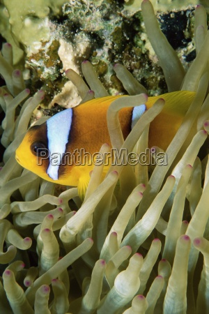 close up of clown fish and