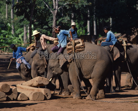 elephants at work moving logs at