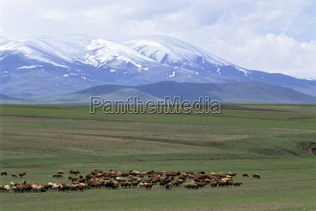 flock of sheep northeast coast of
