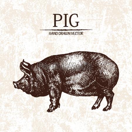 digital vector detailed pig hand drawn
