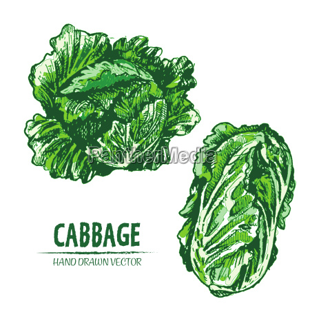 digital vector detailed color cabbage hand