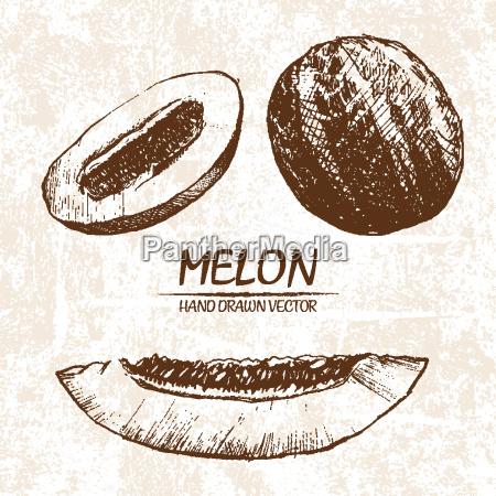 digital vector detailed melon hand drawn