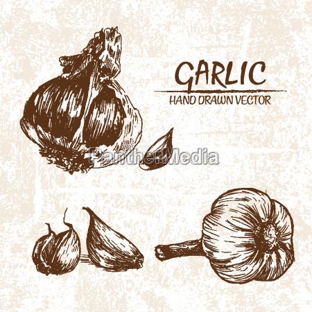 digital vector detailed garlic hand drawn
