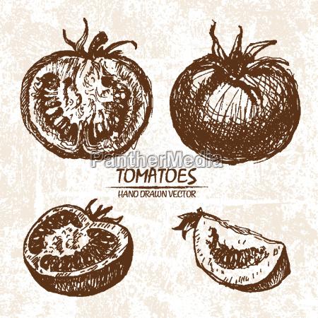 digital vector detailed tomatoes hand drawn