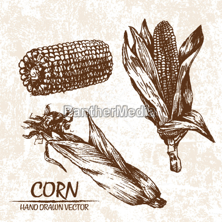 digital vector detailed corn hand drawn