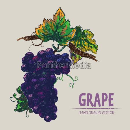 digital vector detailed color grape hand