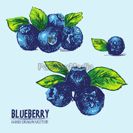 digital vector detailed color blueberry hand