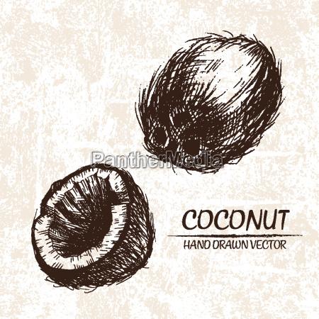 digital vector detailed coconut hand drawn