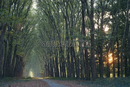 avenue of trees with sun low
