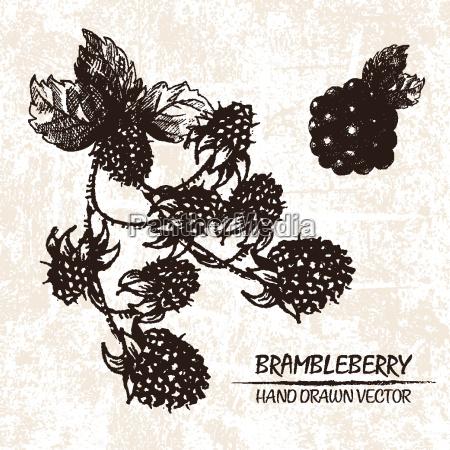 digitale vektor detaillierte brambleberry hand gezeichnet