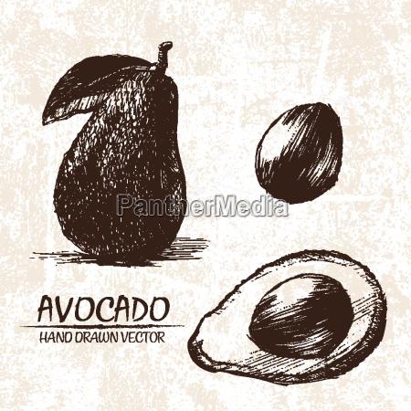 digital vector detailed avocado hand drawn