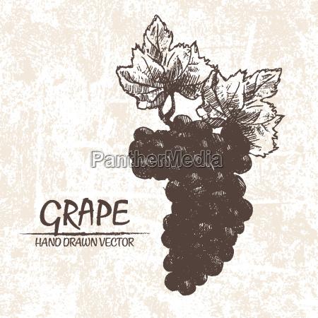 digital vector detailed grape hand drawn