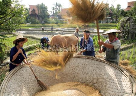 farmers in rice field thailand southeast