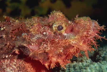 scorpion fish scorpaenopsis have venomous spines