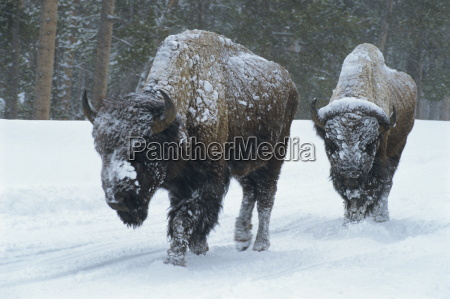 bison walk through winter storm yellowstone