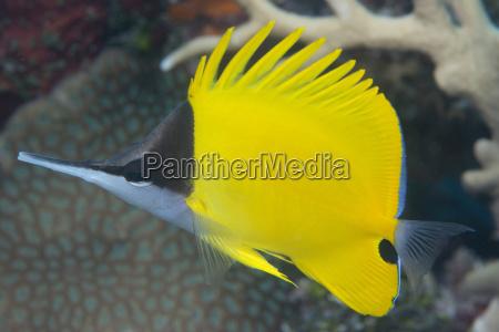 longnose butterflyfish forcipiger flavissimus angepasst um