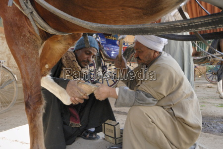 horse shoeing luxor egypt north africa