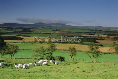 sheep and fields with cheviot hills