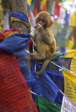 young monkey sitting on prayer flags