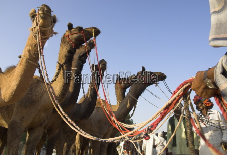 camels at the pushkar mela the